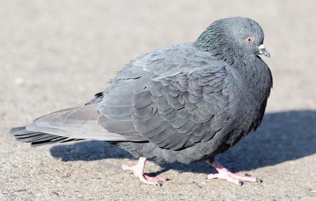 friendless: portrait of pigeon on nature
