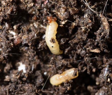 metamorphose: white fly larvae in the soil. macro