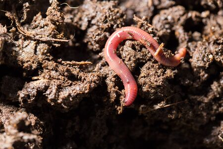 compost: red worms in compost. macro