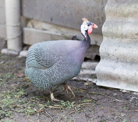 fowl: guinea fowl on a farm Stock Photo
