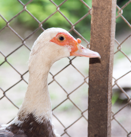 near: duck near the fence on the farm Stock Photo