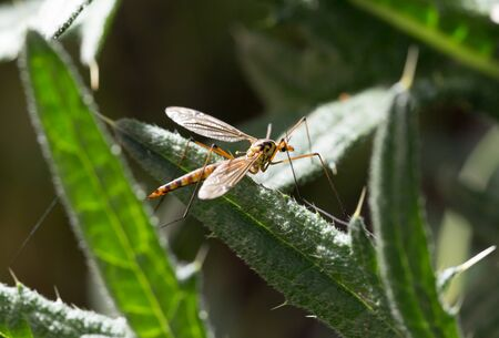 fever plant: large mosquito on a green plant. macro Stock Photo
