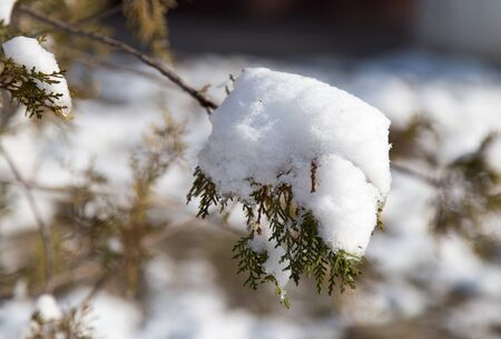 conifers: snow on conifers in nature