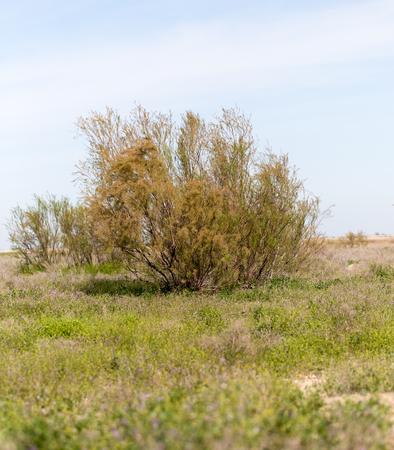 coniferous tree: coniferous tree in the desert Stock Photo