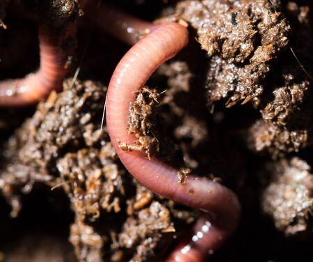 gusanos: gusanos rojos en el compost. macro Foto de archivo