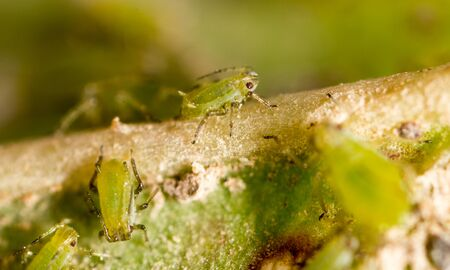 magnification: Extreme magnification - Green aphids on a plant Stock Photo