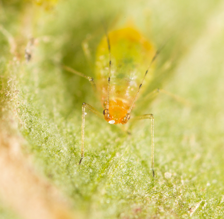 hemiptera: Extreme magnification - Green aphids on a plant Stock Photo