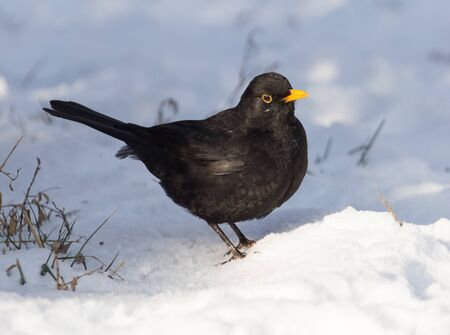 invasive species: Starling on snow in winter