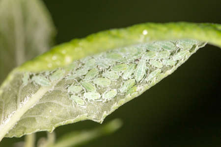 bustle: aphids on a green leaf. close Stock Photo