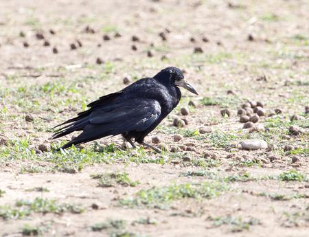 black raven: black raven on nature Stock Photo