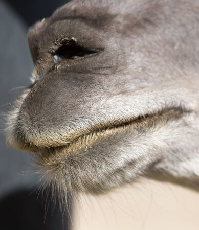 nose: camels nose Stock Photo