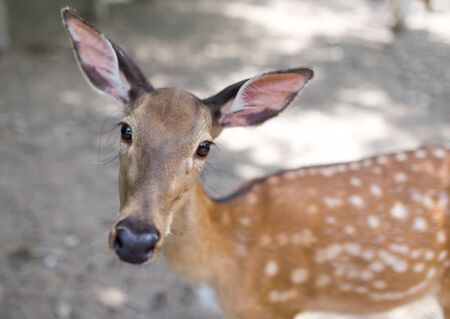 deer  spot: portrait of a young deer in zoo Stock Photo