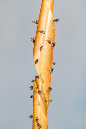 sticky tape: flies on the sticky tape
