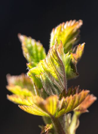 unfold: small leaves spring from buds on a black background