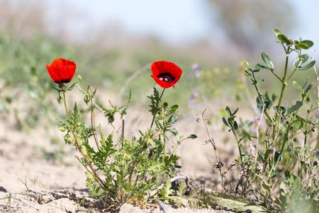 red poppy flower in the field