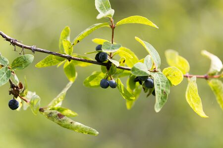 blue berry: blue berry in nature