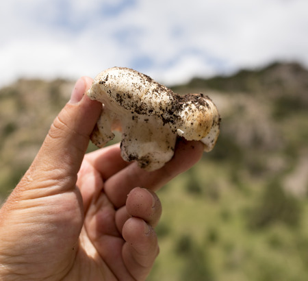 edible mushroom: edible mushroom in hand on nature