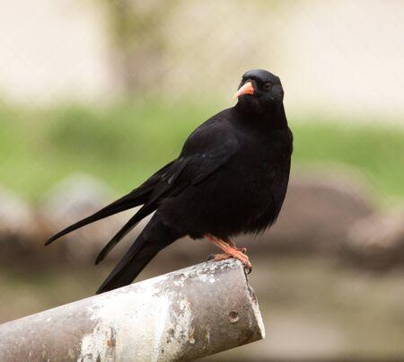 spotless: Spotless Starling bird in nature