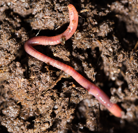 squirm: red worms in compost. macro