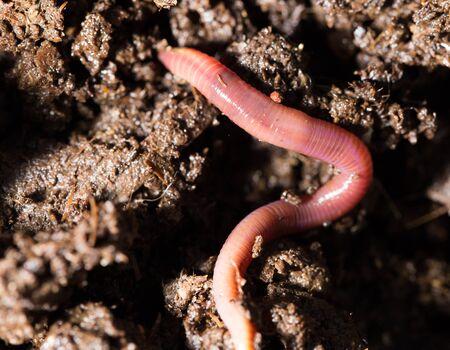 lombriz de tierra: gusanos rojos en el compost. macro Foto de archivo