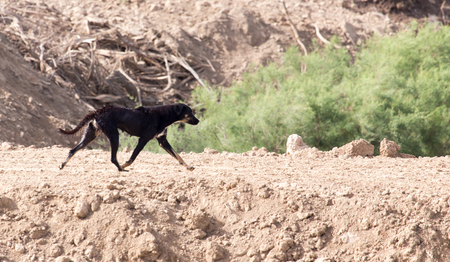 kampfhund: black dog on the nature