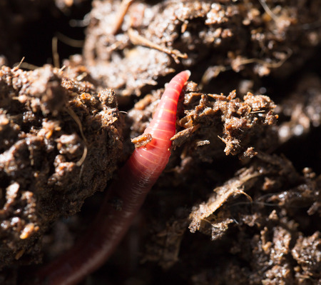 worms: red worms in compost. macro