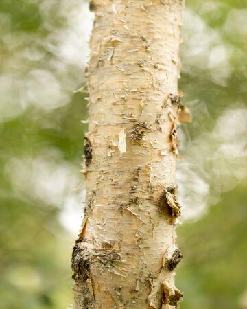 russian pattern: birch trunk wild in nature