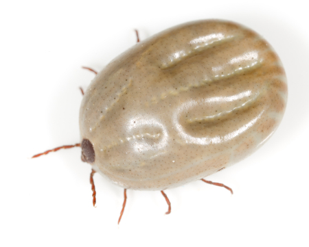 mite: beetle mite on a white background Stock Photo