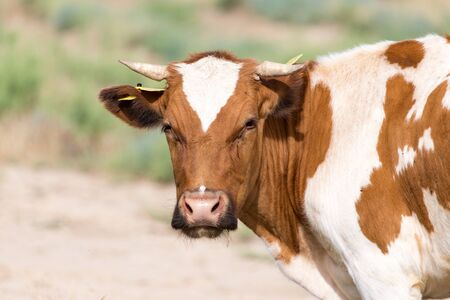 fresian: cow grazing in a pasture Stock Photo