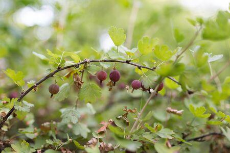 grosella: grosella espinosa madura baya aire libre