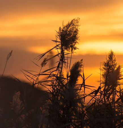 bulrush: bulrush at sunset