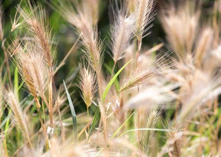 grain fields: Dry ears on grass outdoors Stock Photo