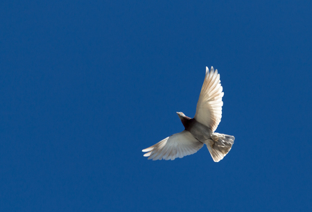 homing: One pigeon in flight against a blue sky