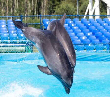 bottlenose: two dolphins jumping in the pool