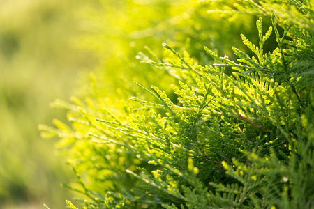 thuja occidentalis: coniferous branch on nature Stock Photo