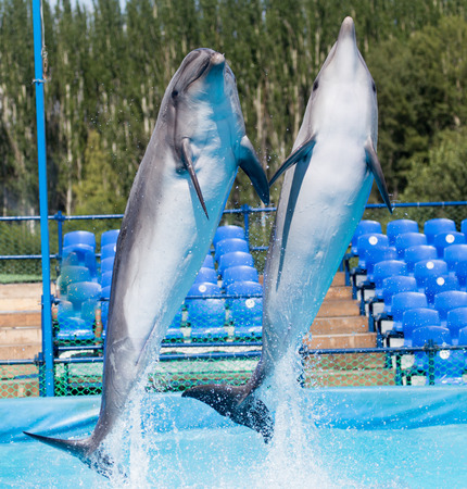 bottle nose: two dolphins jumping in the pool