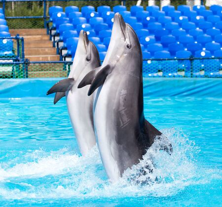 two dolphins dancing in the pool Stock Photo