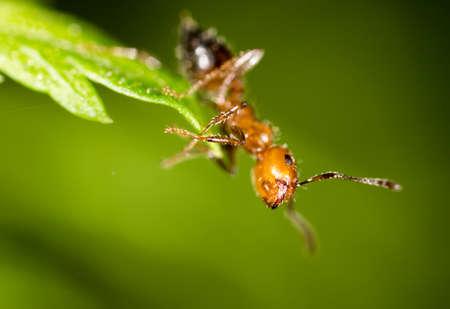 hormiga hoja: hormiga en una hoja verde