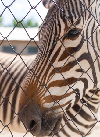 burchell: Portrait of a zebra in a zoo behind a fence