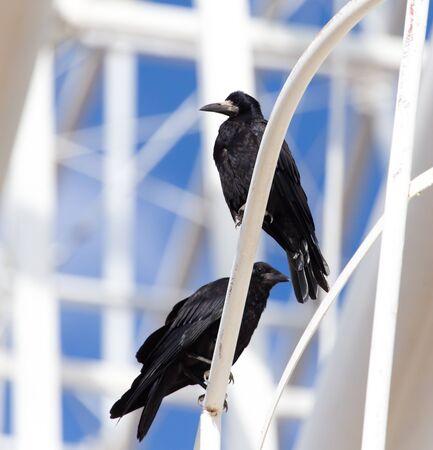 corvus: Black crows in nature Stock Photo