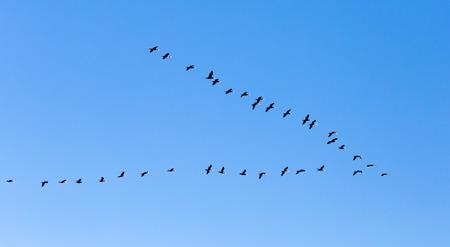 uno stormo di uccelli che volano a sud nel cielo blu Archivio Fotografico