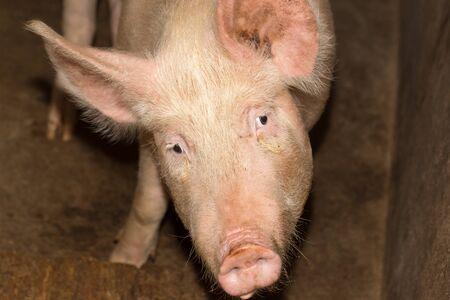 omnivore: portrait of a pig farm