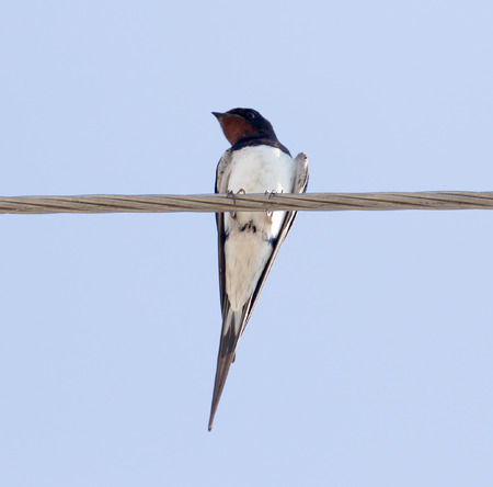 swallow bird: Swallow bird on the electric wire