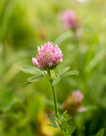 red clover: Red clover flower in nature
