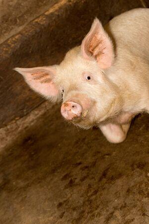 omnivore animal: portrait of a pig farm