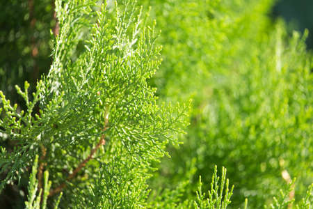 coniferous branch on nature Stock Photo