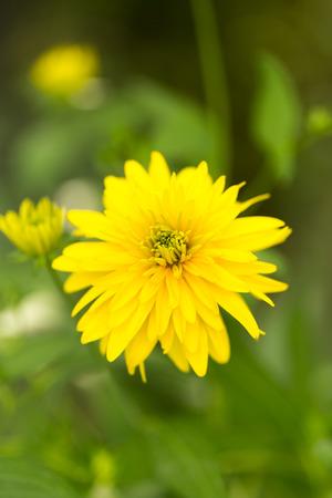 eyeing: beautiful yellow flower in nature Stock Photo