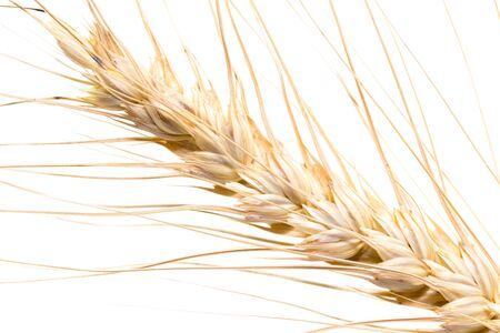 wheat on a white background. macro