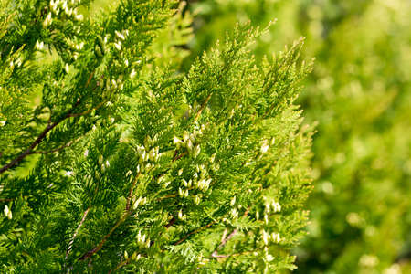 arborvitae branches in nature as a background Stock Photo