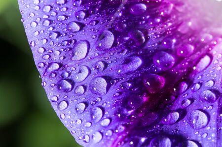 kropla deszczu: drops of water on a blue flower Zdjęcie Seryjne